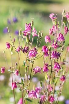 咲く紫と青のコロンバイン