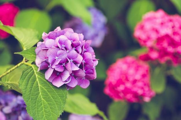 咲く紫とピンクのアジサイまたはオルテンシアの背景。春または夏の庭。クローズアップ、セレクティブフォーカス、晴れた日