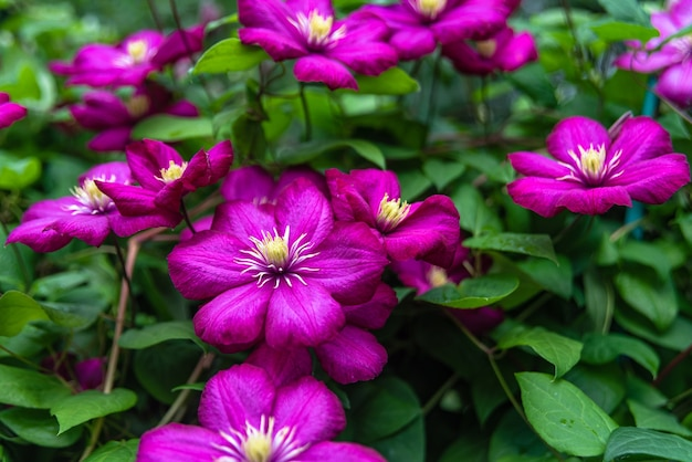 Blooming purple clematis in the garden on sunny day.