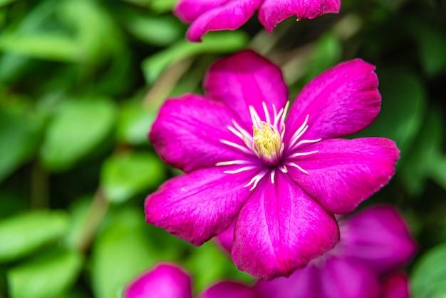 晴れた日に庭に咲く紫のクレマチス。