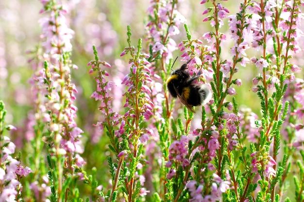 보라색 커먼 헤더와 땅벌, 클로즈업. 칼루나 불가리스. 햇빛에 밝은 분홍색 헤더. 보라색 헤더 꽃과 땅벌. 땅벌은 커먼 헤더를 수분합니다.