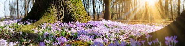 晴れた春の日にソフト フォーカスで咲く紫のクロッカスの花