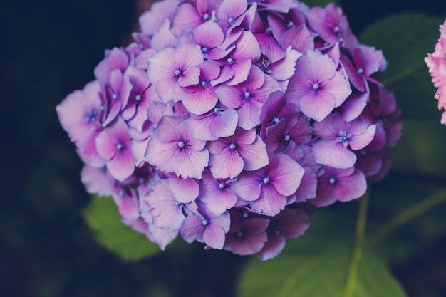 庭に咲く紫色のアジサイまたはオルテンシア