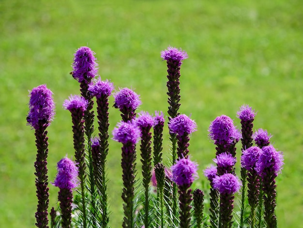緑の庭に咲く紫リアトリスの花