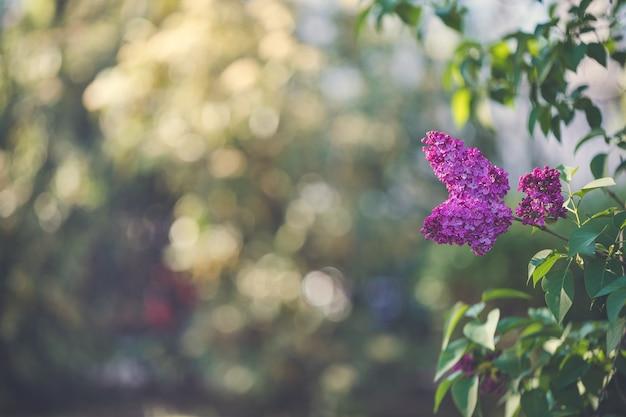 咲く紫色のライラックの枝の背景
