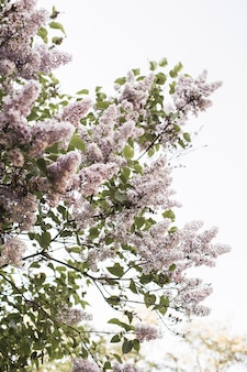 咲く紫色のライラックの花の茂み。自然な夏の花の構成