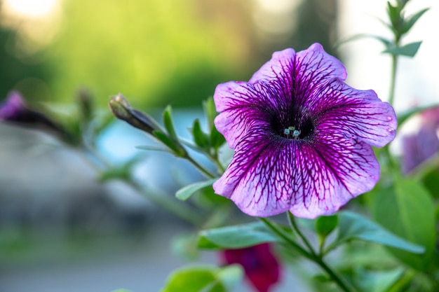 Blooming purple petunia shot close up with blurred background