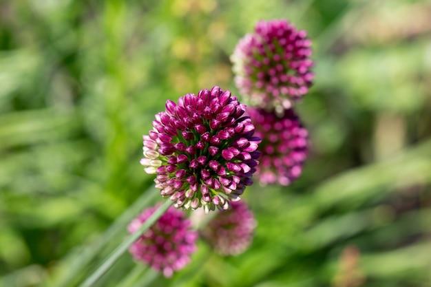 咲く紫色のタンチョウアリウムまたはネギタマネギ装飾タマネギアリウムスフェロセファロン