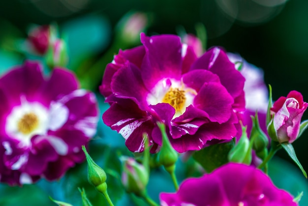 Blooming purple splash oh wow carruth usaバラ紫の斑点があり、白の縞模様