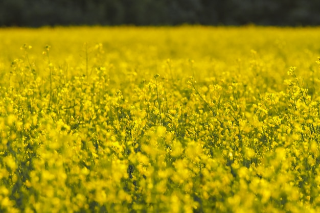 Blooming rapeseed field at spring