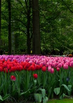 世界最大のフラワーガーデンパーク、キューケンホフに咲く赤とバラの色調のチューリップ