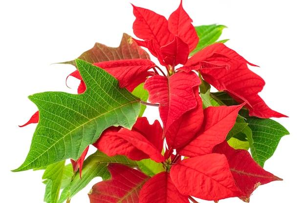 흰색 배경에 고립 된 근접 촬영에 피는 빨간 크리스마스 포인세티아 꽃