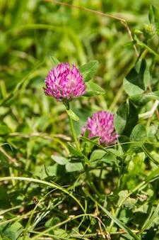 咲くレッドクローバーtrifolium pratenseと緑の草のクローズアップ。春のピンクのクローバーの花、浅い被写し界深度。