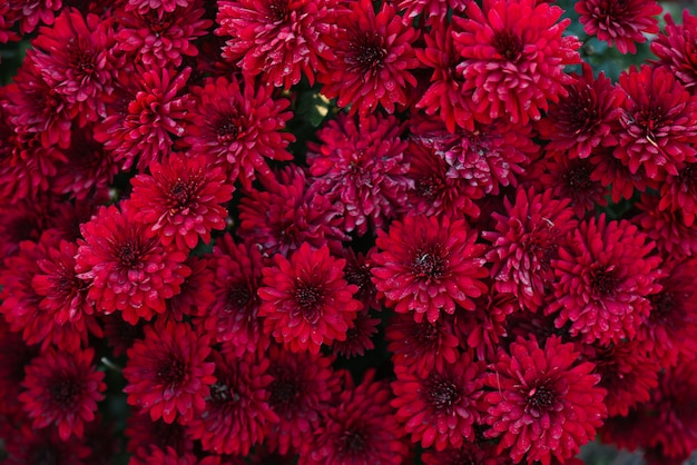 Blooming red maroon chrysanthemums in the autumn in the garden floral background