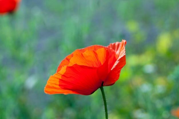 咲く赤いポピー、咲く赤いポピーのクローズアップ..夏