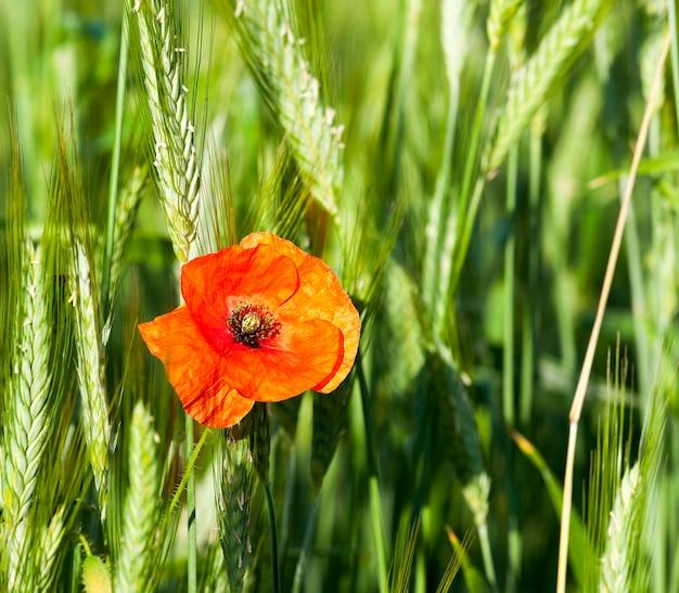 咲く赤いポピーは、夏に咲く赤いポピーのクローズアップを撮影しました。農業分野
