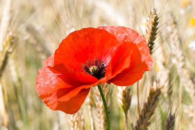 咲く赤いポピー