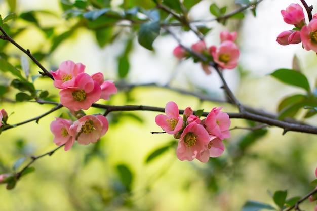 咲く赤いマルメロ