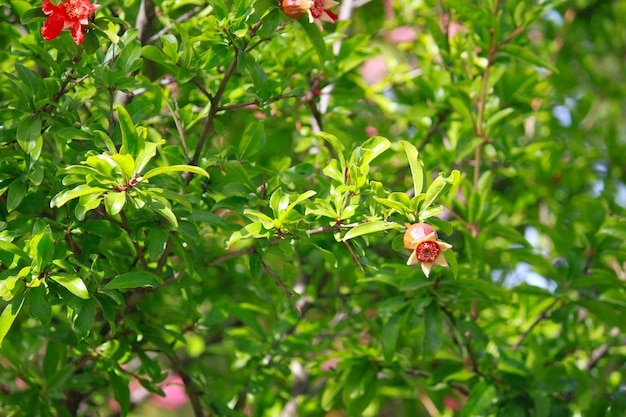 Blooming and red ripe pomegranate fruit on tree in montenegro
