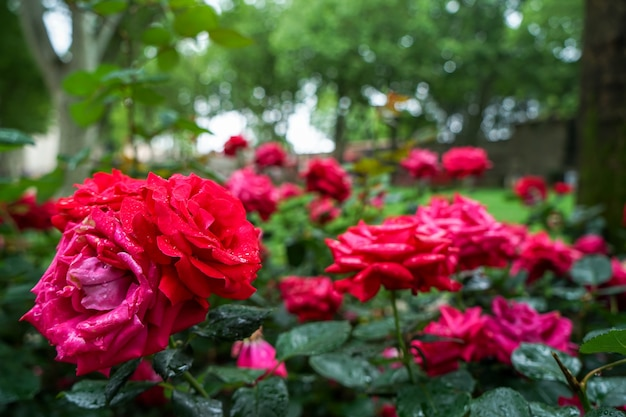 Blooming red rose flowers with rain water droplet on blurred green background