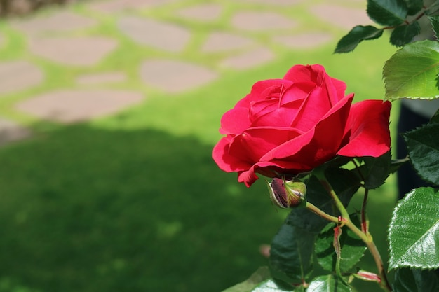 Blooming red rose in the sunlight with blurry green lawn in the backdrop