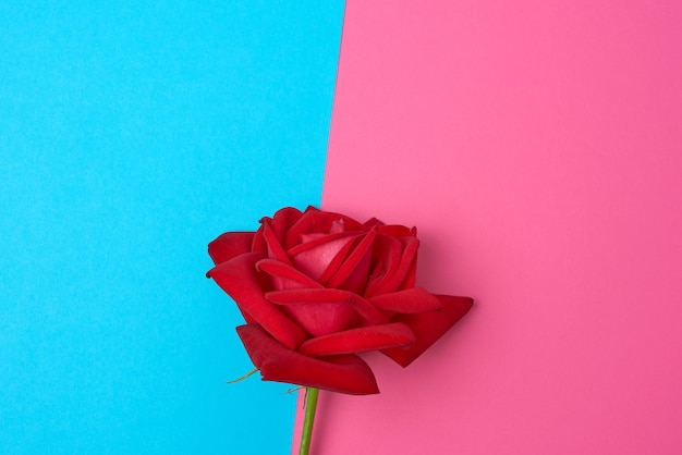 Blooming red rose with green leaves on a blue pink space