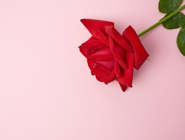 Blooming red rose with green leaves on a pink background