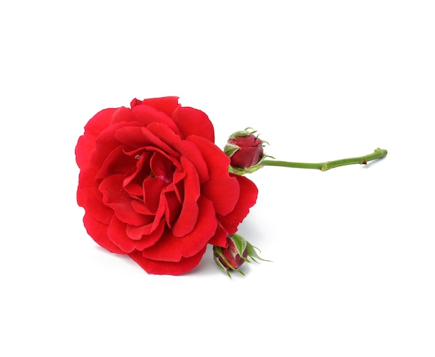 Blooming red rose with green stem isolated on white background, close up