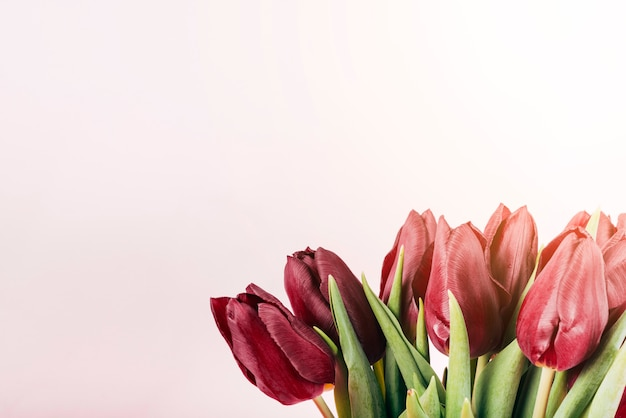 Blooming red tulip flowers on pink backdrop