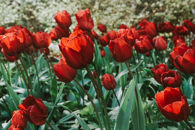 Blooming red tulips in the field