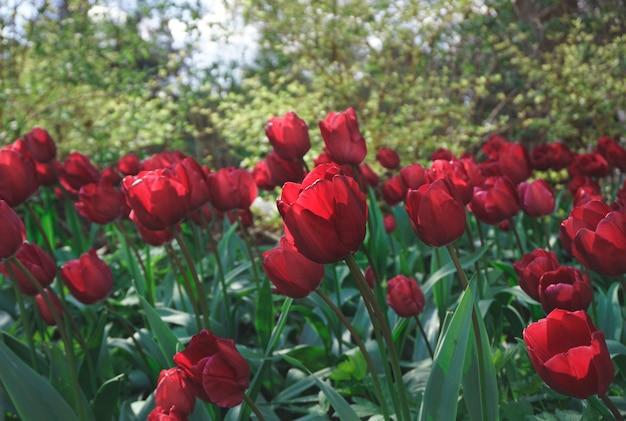 畑に咲く赤いチューリップ