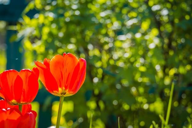 庭に咲く赤いチューリップ