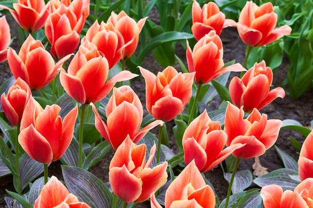 公園の庭のベッドに咲く赤いチューリップ