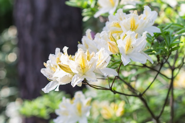 Blooming rhododendron in the botanical garden