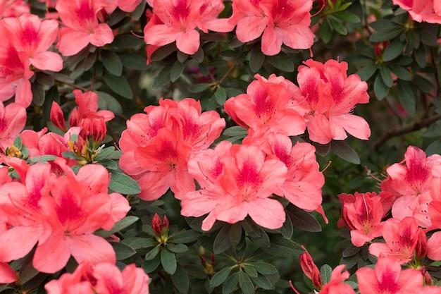 咲くバラの茂みのツツジ、ピンクのエキゾチックな春の花。高品質の写真