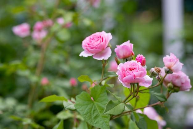 Цветущие розы и бутоны на кусте в саду