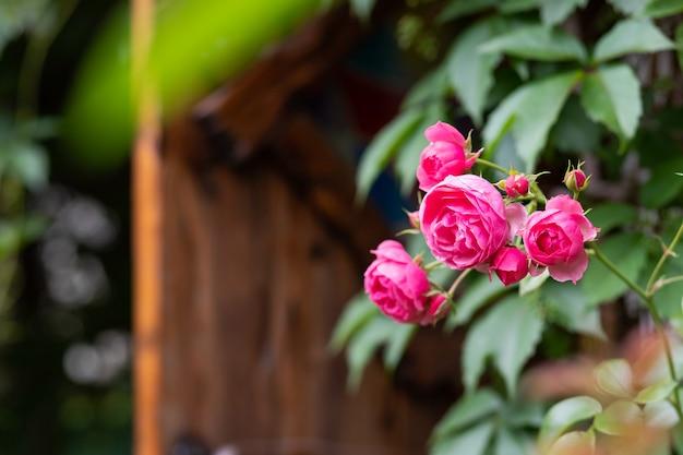 정원에서 부시에 피는 장미와 꽃 봉오리