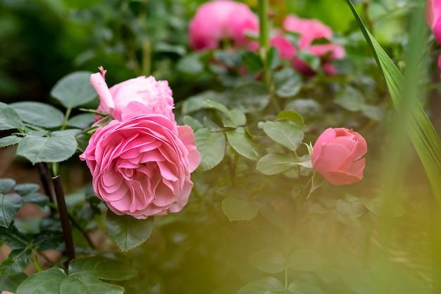庭の茂みに咲くバラとつぼみ