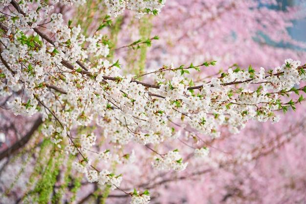 피 사쿠라 벚꽃
