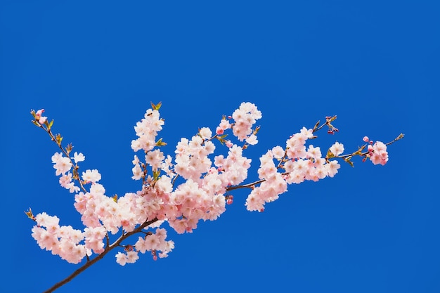 Blooming sakura flowers. branches of blossoming cherry against bright blue sky.
