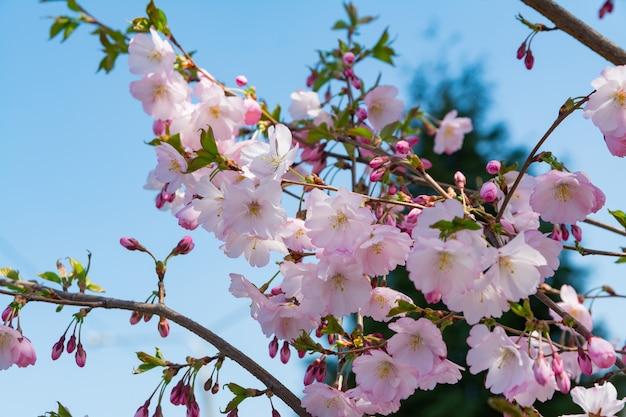 庭に咲く桜