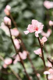 Blooming sakura sprig with pink delicate flower
