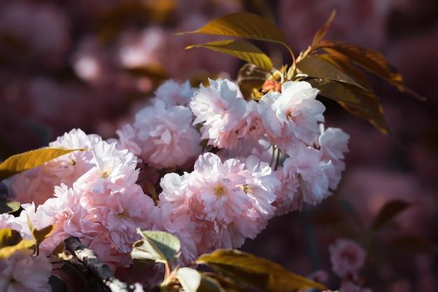咲く桜の木と自然の背景。春の桜のクローズアップ。