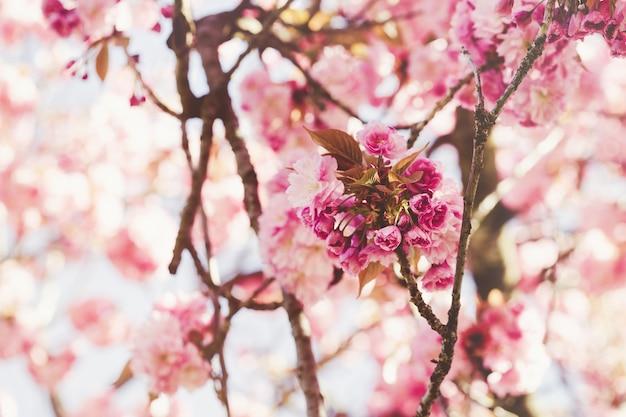 咲く桜の木の枝、抽象的な春の背景