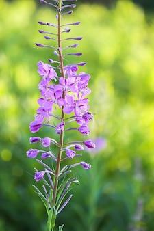 Цветущая салли, ивовая трава, кипрея лекарственное с пурпурными цветами