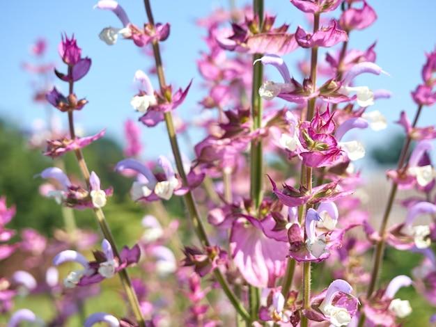 庭に咲くサルビアクラリセージ。