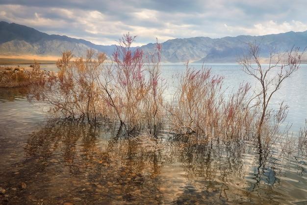 カザフスタンの山岳草原で咲くサクサウルスが水で溢れている