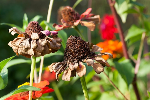 Blooming and sluggish dry flowers in early autumn, brings a sad mood