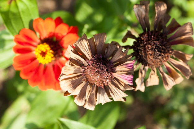 Blooming and sluggish dry flowers in early autumn