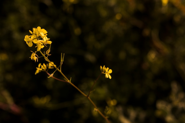 Blooming small yellow flowers